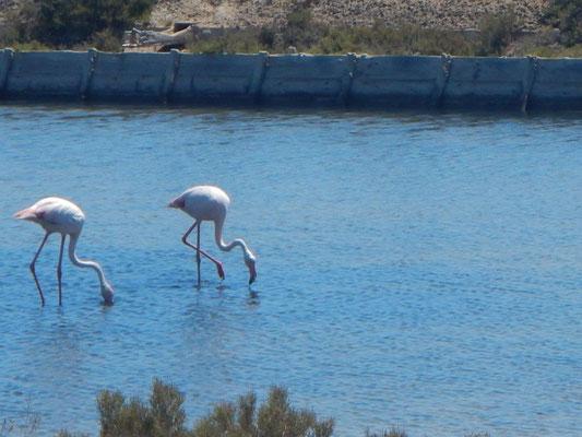 Flamingos in den Salinen vin Cagliari