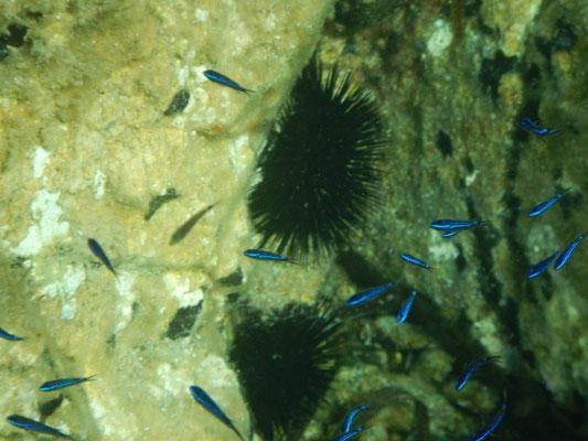Bunte Fische vor Korsika beim schnorcheln beobachten
