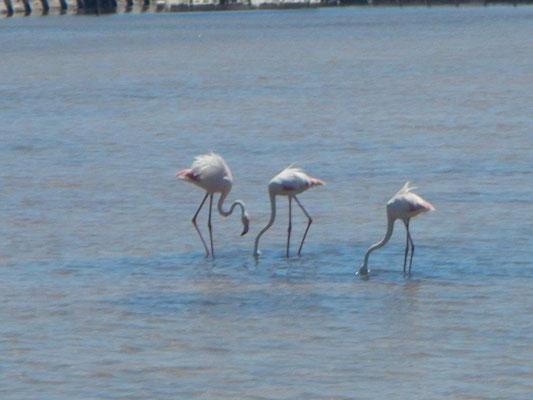 Flamingos im Naturschutzgebiet Süd Sardinien