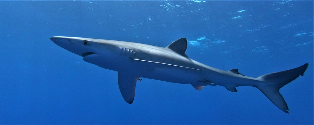 blue shark @ Azores - picture by Markus Jimi Ivan