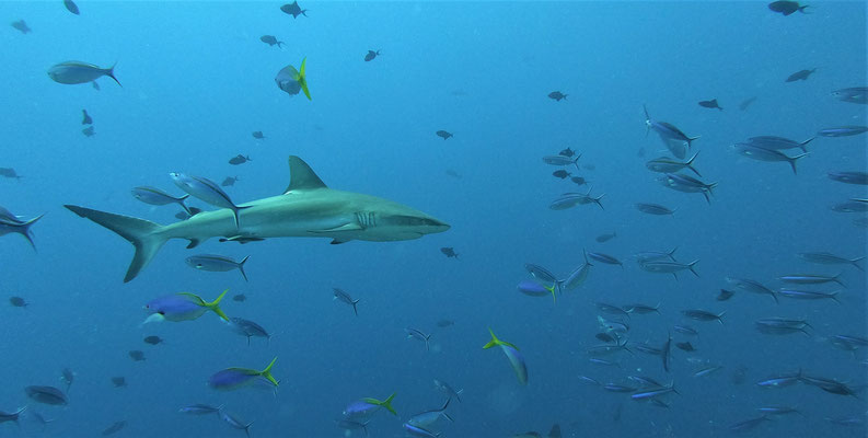 grey reef shark (Carcharhinus amblyrhynchos) - picture by Markus Jimi Ivan - jimiivan.at 2020