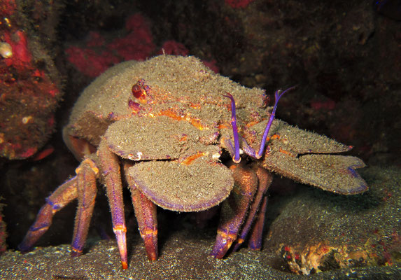 slipper lobster @ Azores - picture by Markus Jimi Ivan