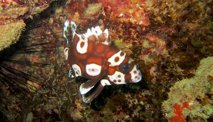 juvenile of harlequin sweetlip  (Plectorhinchus chaetodonoides) - picture by Markus Jimi Ivan - jimiivan.at 2020