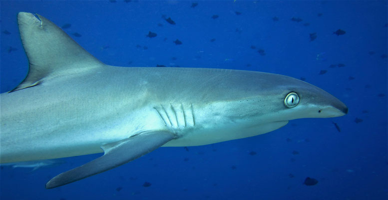 grey reef shark with funny nose (Carcharhinus amblyrhynchos) - picture by Markus Jimi Ivan - jimiivan.at 2020