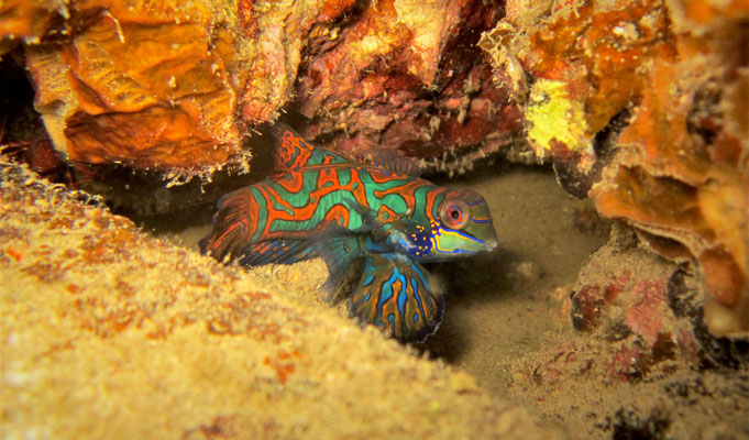 mandarinfish (Synchiropus splendidus) - picture by Markus Jimi Ivan - jimiivan.at 2020