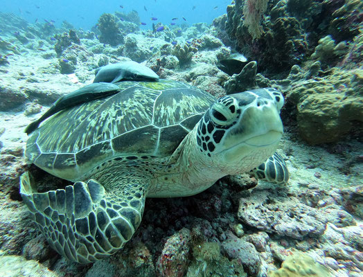 green sea turtle (Chelonia mydas) - picture by Markus Jimi Ivan - jimiivan.at 2020