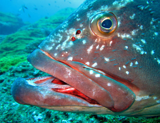 grouper @ Azores - picture by Markus Jimi Ivan