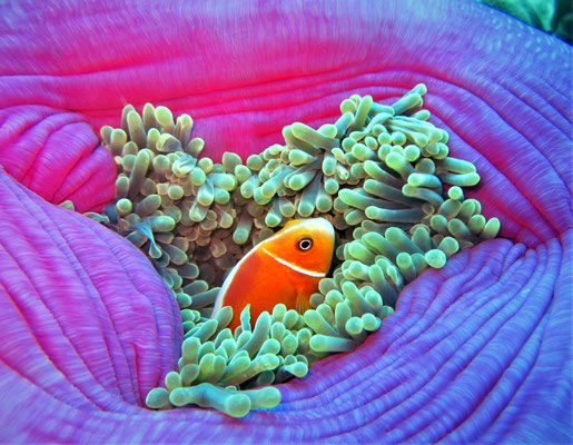 pink skunk clownfish (Amphiprion perideraion) - picture by Markus Jimi Ivan - jimiivan.at 2020