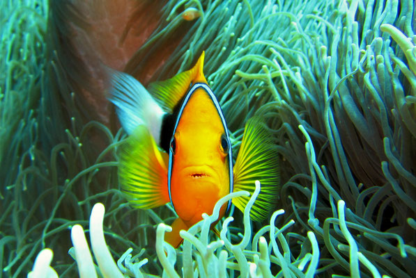 Clark's anemonefish (Amphiprion clarkii) - image by Markus Jimi Ivan - jimiivan.at 2020