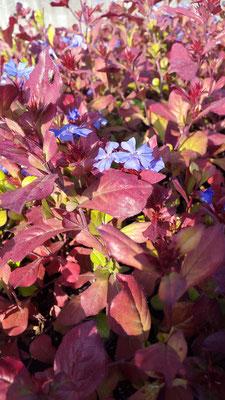 Bleiwurz mit Herbstfärbung