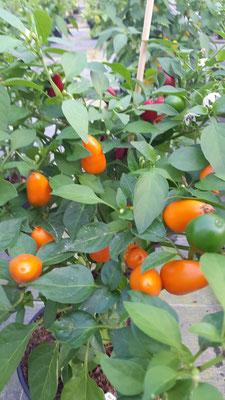 Chili `Capela´ Rot & Orange