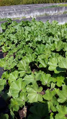 Gemüsemalven