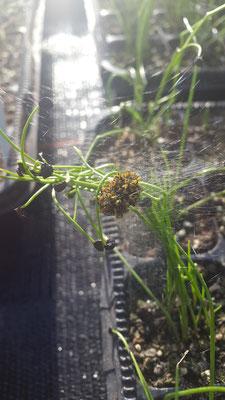 Spinnennest in Schnittlauchjungpflanzen
