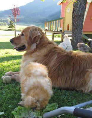 Golden Retriever Bernardo