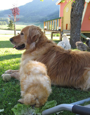 Golden Retriever Bernardo