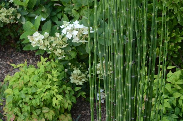 prêle et hortensia en fleurs