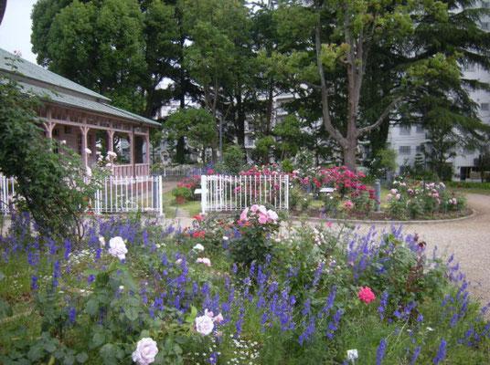 八幡山の洋館 2009年当時植栽されていたバラを植え替えた外側花壇  2017年5月31日