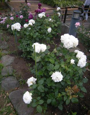 八幡山の洋館 今春植え替えられたバラ 手前「アンナ プルナ」2000年 ドリュ社 2017年5月31日