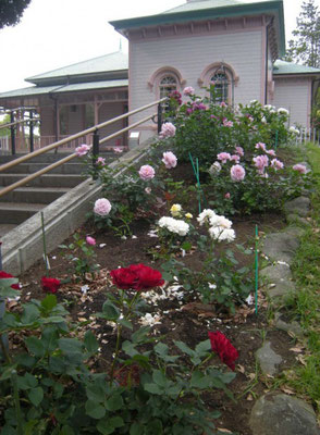 八幡山の洋館 今春植え替えられたバラ 手前「オマージュ ア バルバラ」2004年 デルバール社 2017年5月31日