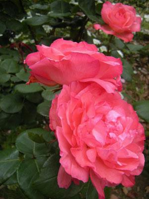 「ピンク パンサー」1982年 メイアン社 八幡山の洋館 2017年5月31日