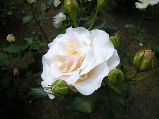 真珠貝 Shinju-gai (pearly shells) , at the rose garden on the south of Hiratsuka Comprehensive Park, 14 May, 2014