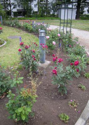八幡山の洋館 2009年当時植栽されていたバラを植え替えた外側花壇  2017年5月25日