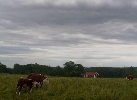 Südschweden - Kühe und rote Holzhäuschen
