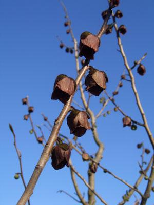 Indianerbananen-Blüten