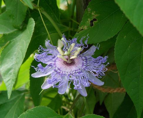 Passiflora Incarnata (duftend) Fruchtsorte und wertvolle Heilpflanze