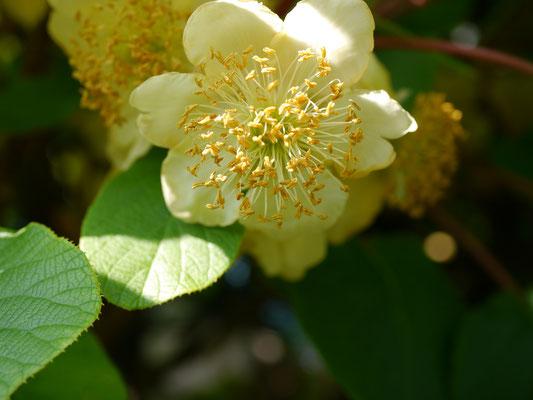 Männliche Blüte - viele Staubgefäße