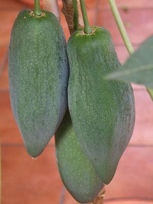 Papaya selbstfruchtende Sorte Babacco