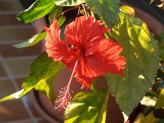 Hibiscus Cooperi
