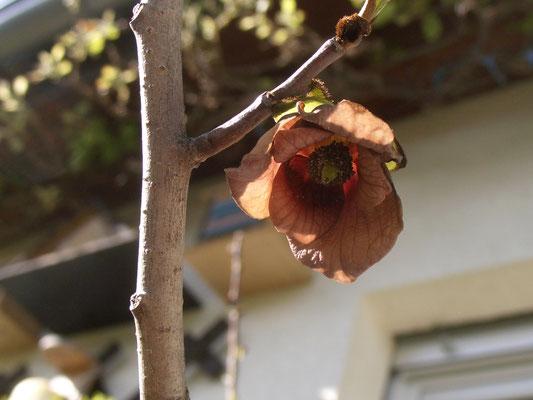 Blüte Sunflower Haus-Südseite