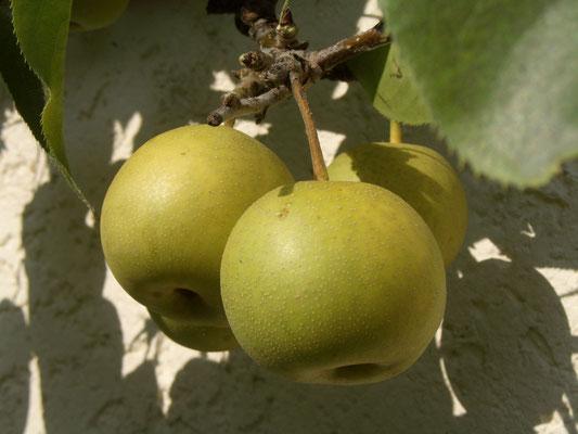 Nashi Shinseiki Herkunft Japan - Kreuzung von Apfel und Birne - saftig und schmackhaft