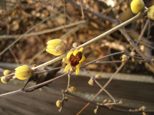Winterblüte z. Jahreswechsel
