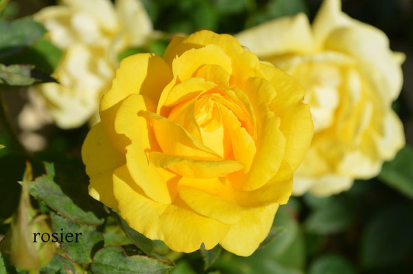 rosier,aménagement de jardin de fleurs,normandie