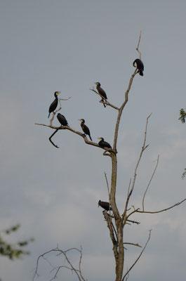 Cormorans qui jouent aux vautours  Canal de la Broye