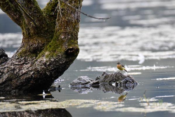 Bergeronnette des ruisseaux, Biaufond