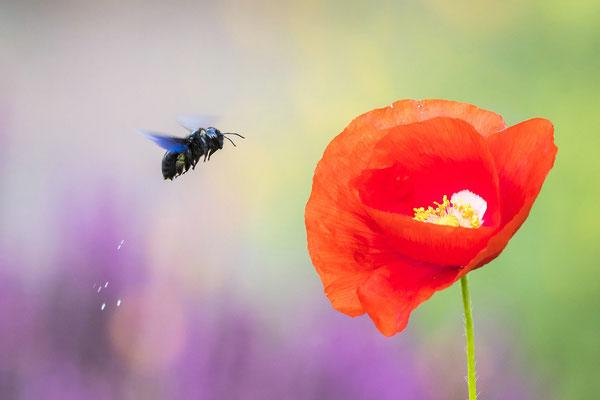 Holzbiene im Anflug auf Mohnblüte