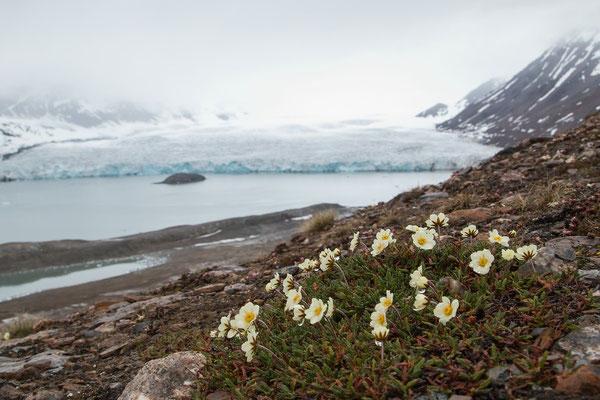 Arktischer Mohn