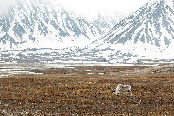 Spitzbergen-Rentier