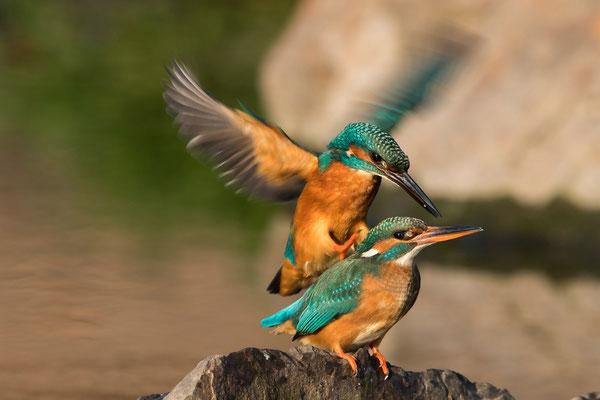 Anflug zur Paarung