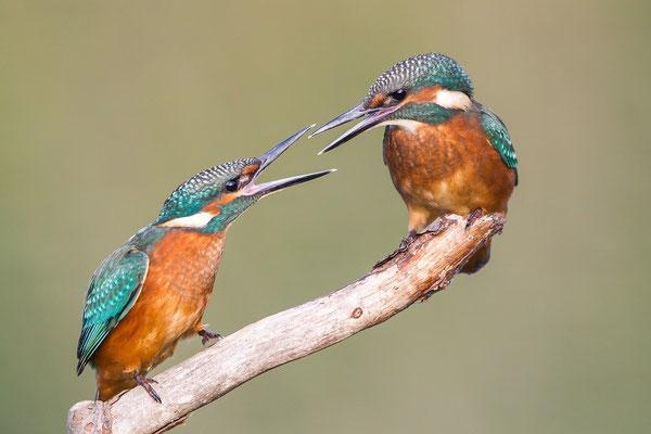 Streitende Jungvögel