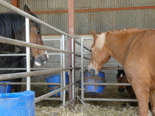Des boxes qui permettent les contacts entre chevaux