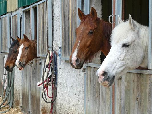 Des chevaux heureux au box