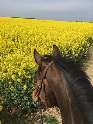 Balade à cheval entre les champs de colza dans l'Yonne