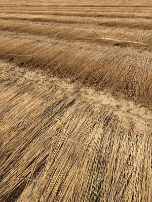 Flachsfeld nach der Ernte