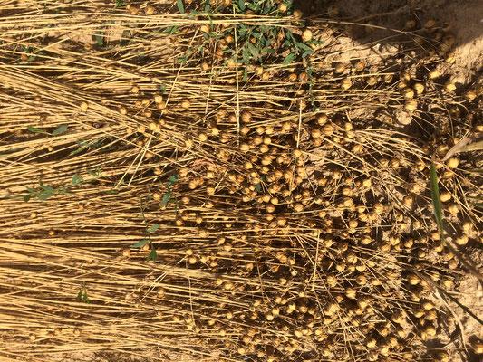 Flachs nach der Ernte