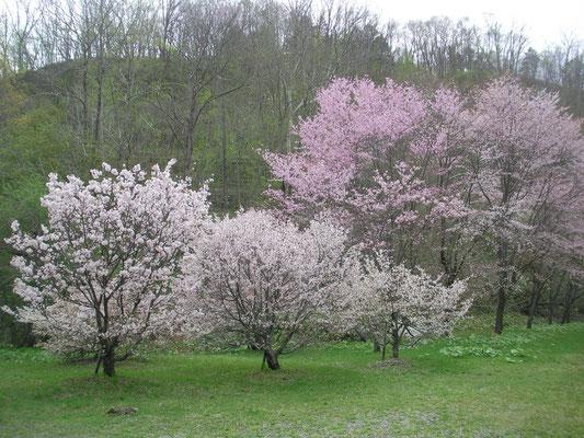 恵庭市。えにわ湖桜公園