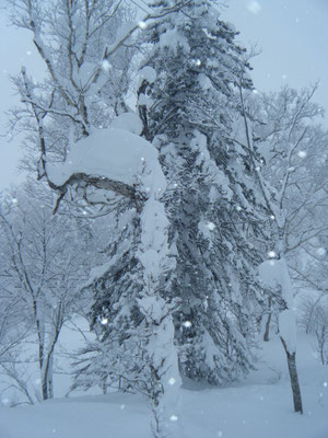 富良野市。富良野スキー場の木